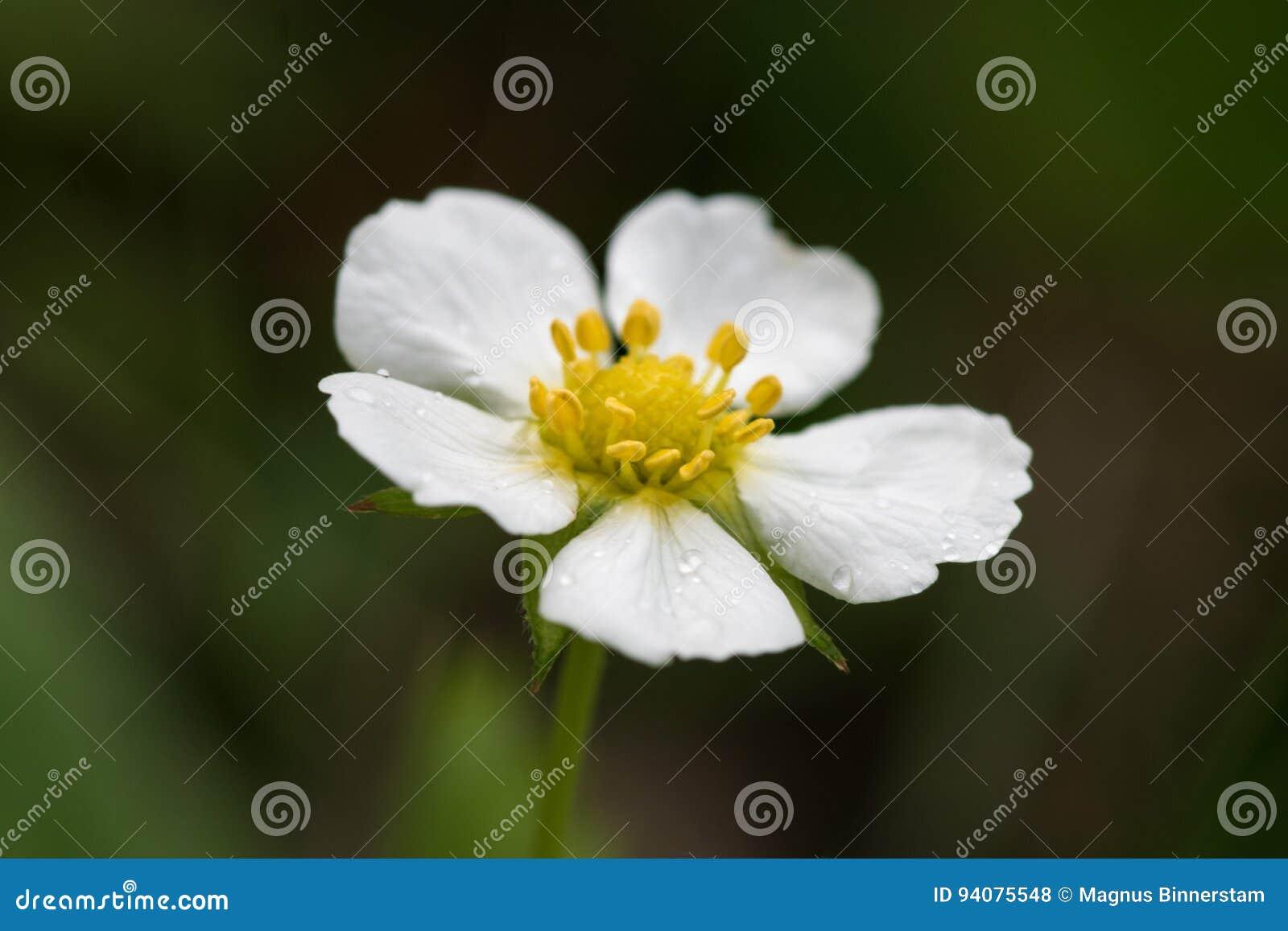 Fleur De Fraisier Commun Photo Stock Image Du Macro 94075548