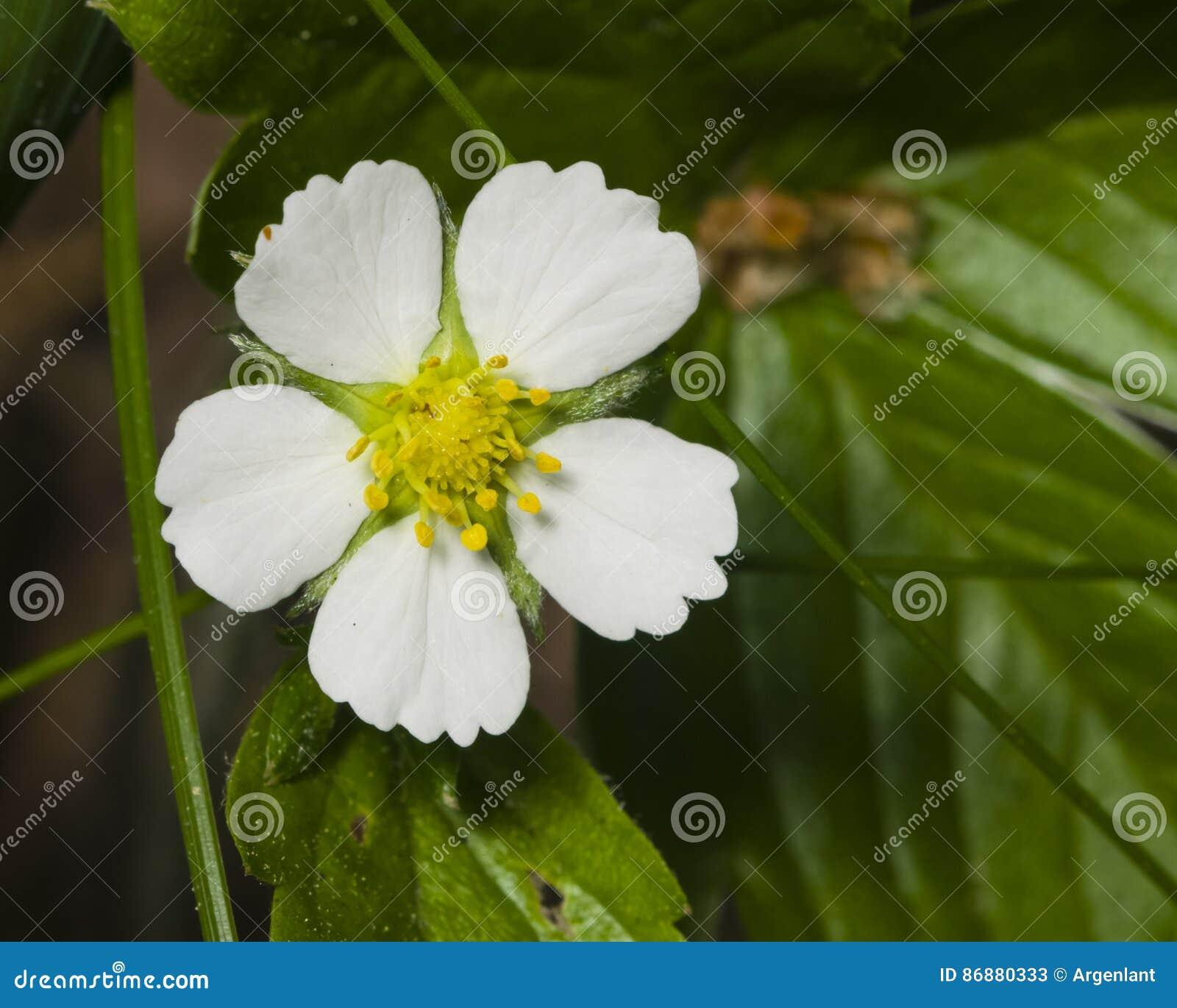 Fleur De Fraisier Commun Avec Le Plan Rapproche Blanc De Petales