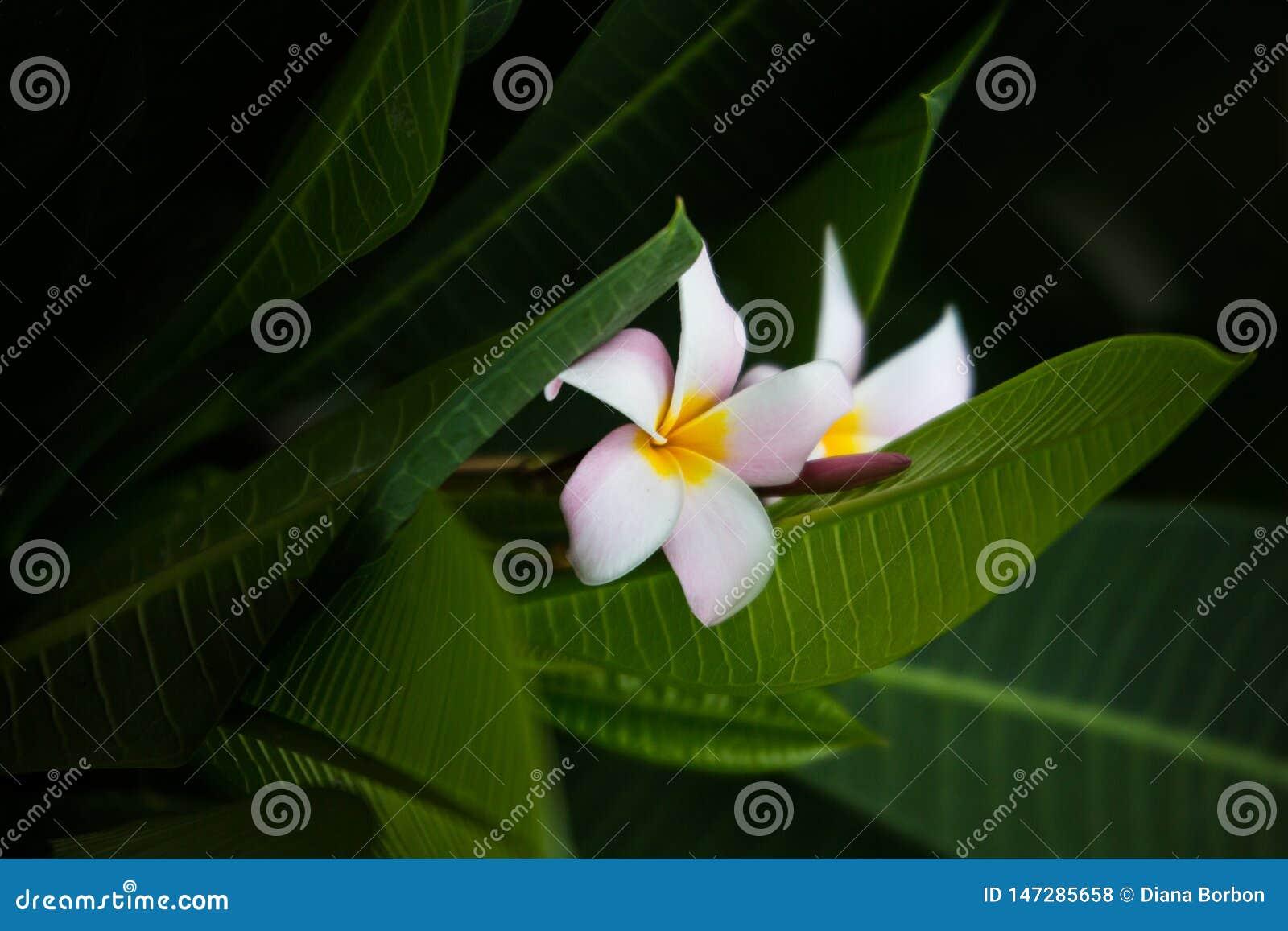 Fleur de Frangipani sur le backgorund vert de feuille Bali - image
