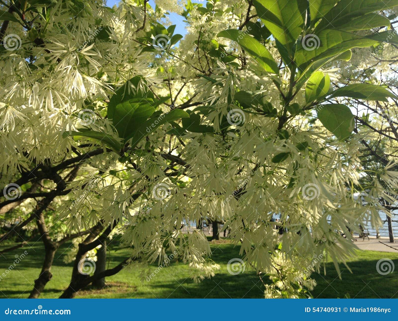 Fleur de Fringetree