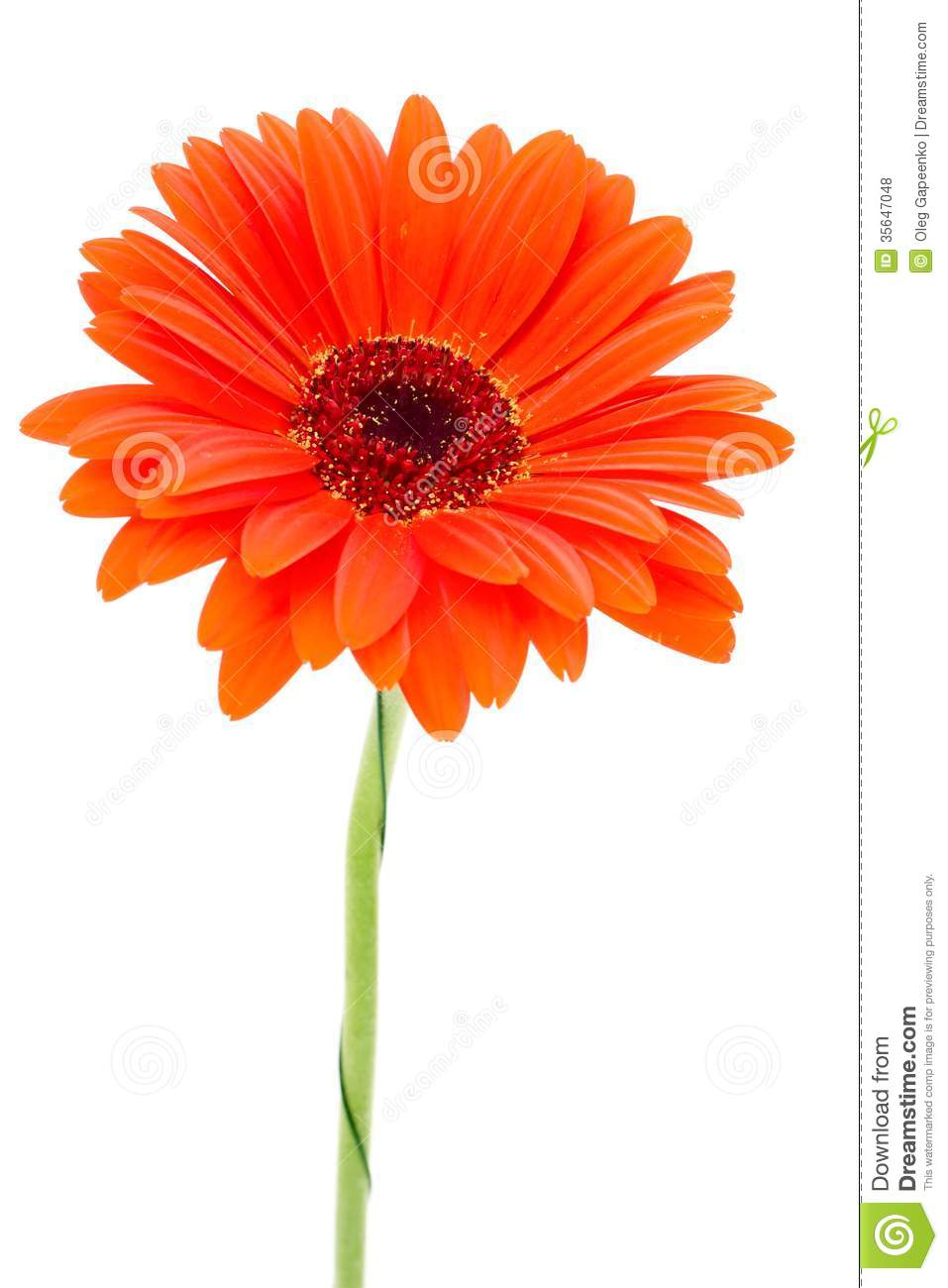 Fleur de gerbera d 39 isolement sur le fond blanc photo stock for Bouquet de fleurs gerbera