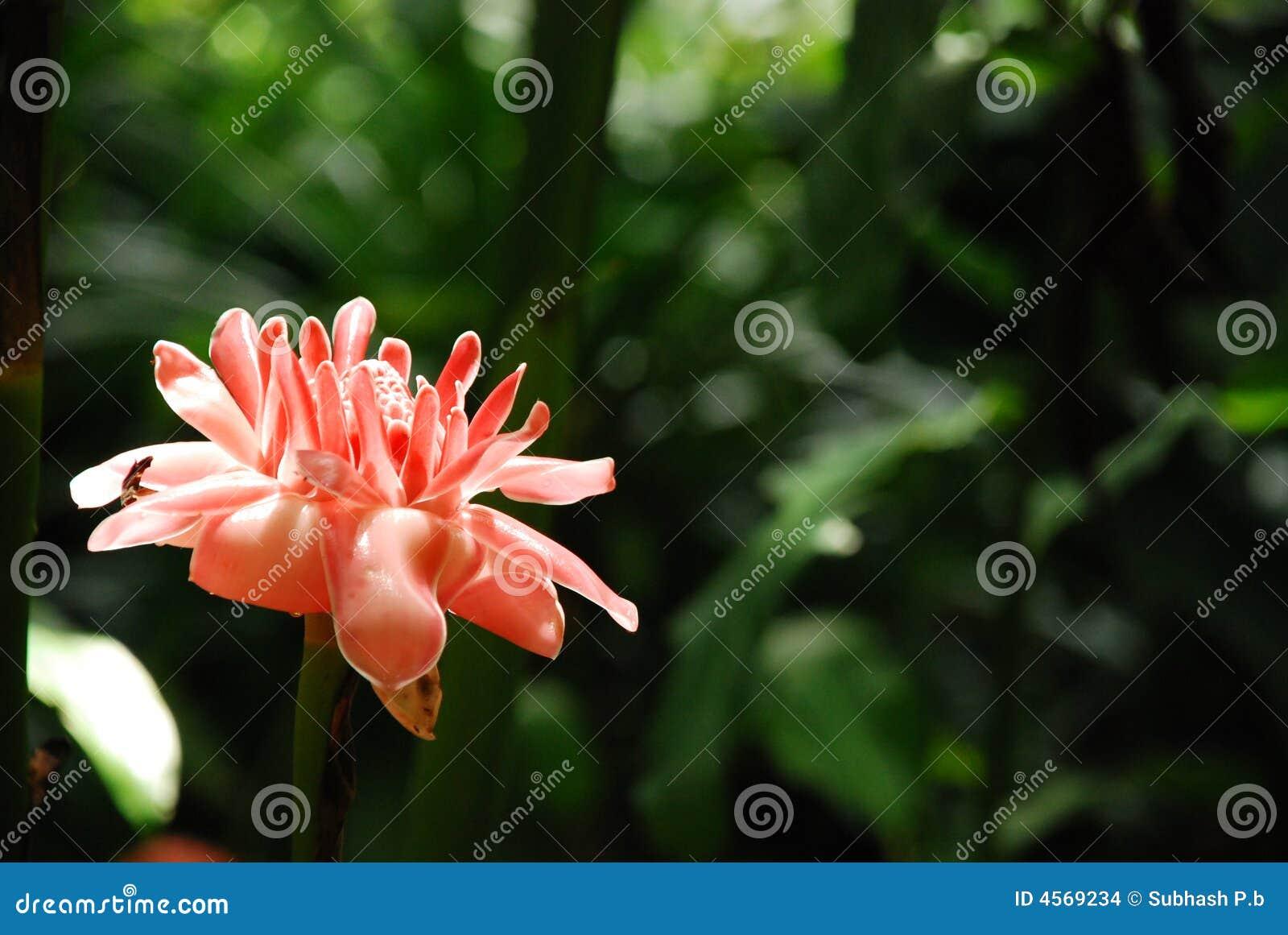 Fleur de gingembre