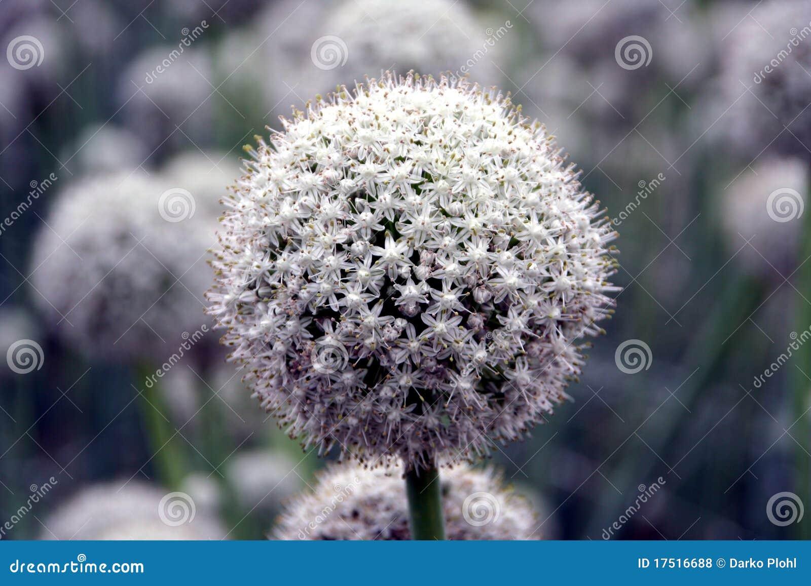 fleur de graine d 39 oignon photos libres de droits image 17516688. Black Bedroom Furniture Sets. Home Design Ideas
