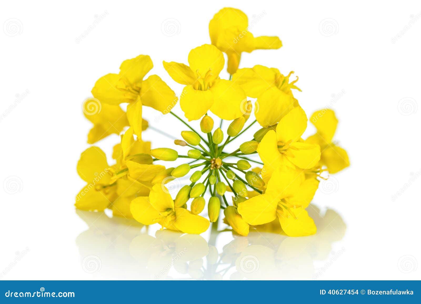 fleur de graine de colza photo stock image 40627454. Black Bedroom Furniture Sets. Home Design Ideas