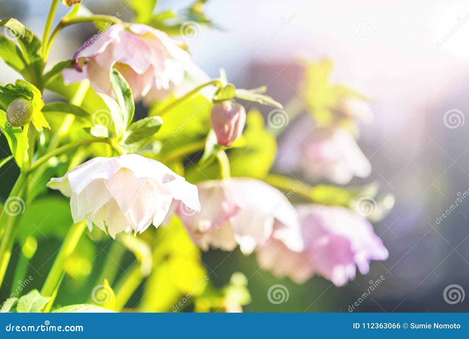 Fleur de Hellebore ou orientalis de Helleborus sur le bokeh