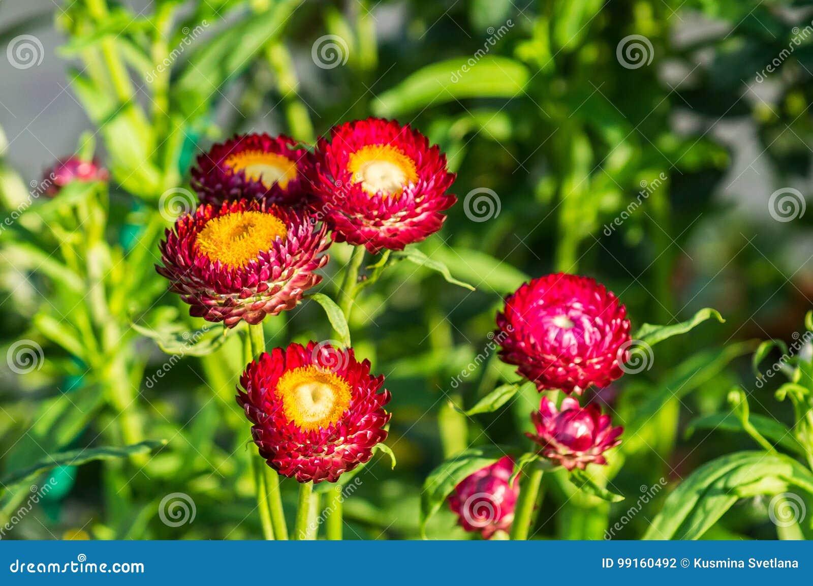 Fleur de jardin