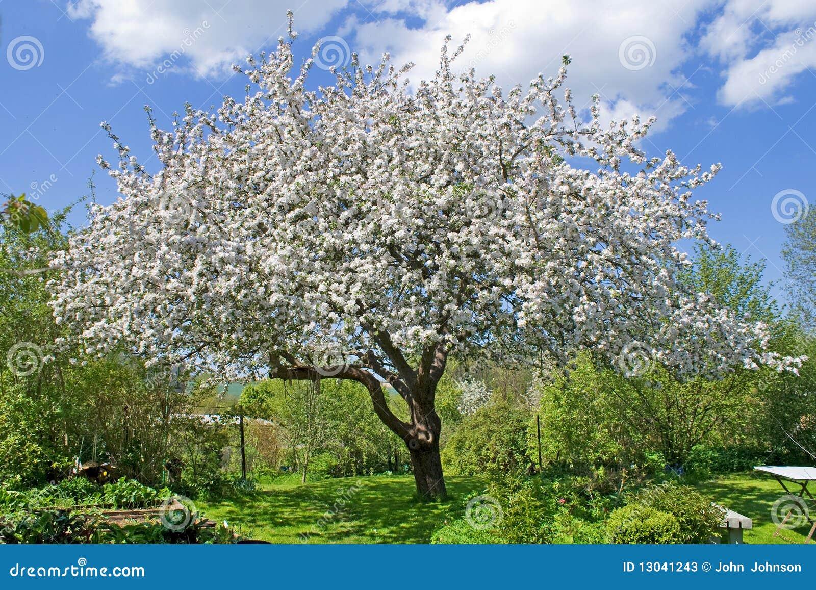 Fleur de jardin d 39 arbre photos stock image 13041243 - L arbre le pommier ...