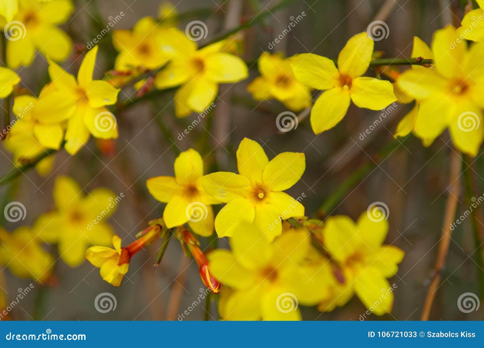 Fleur De Jaune De Nudiflorum De Jasminum De Jasmin D Hiver Image