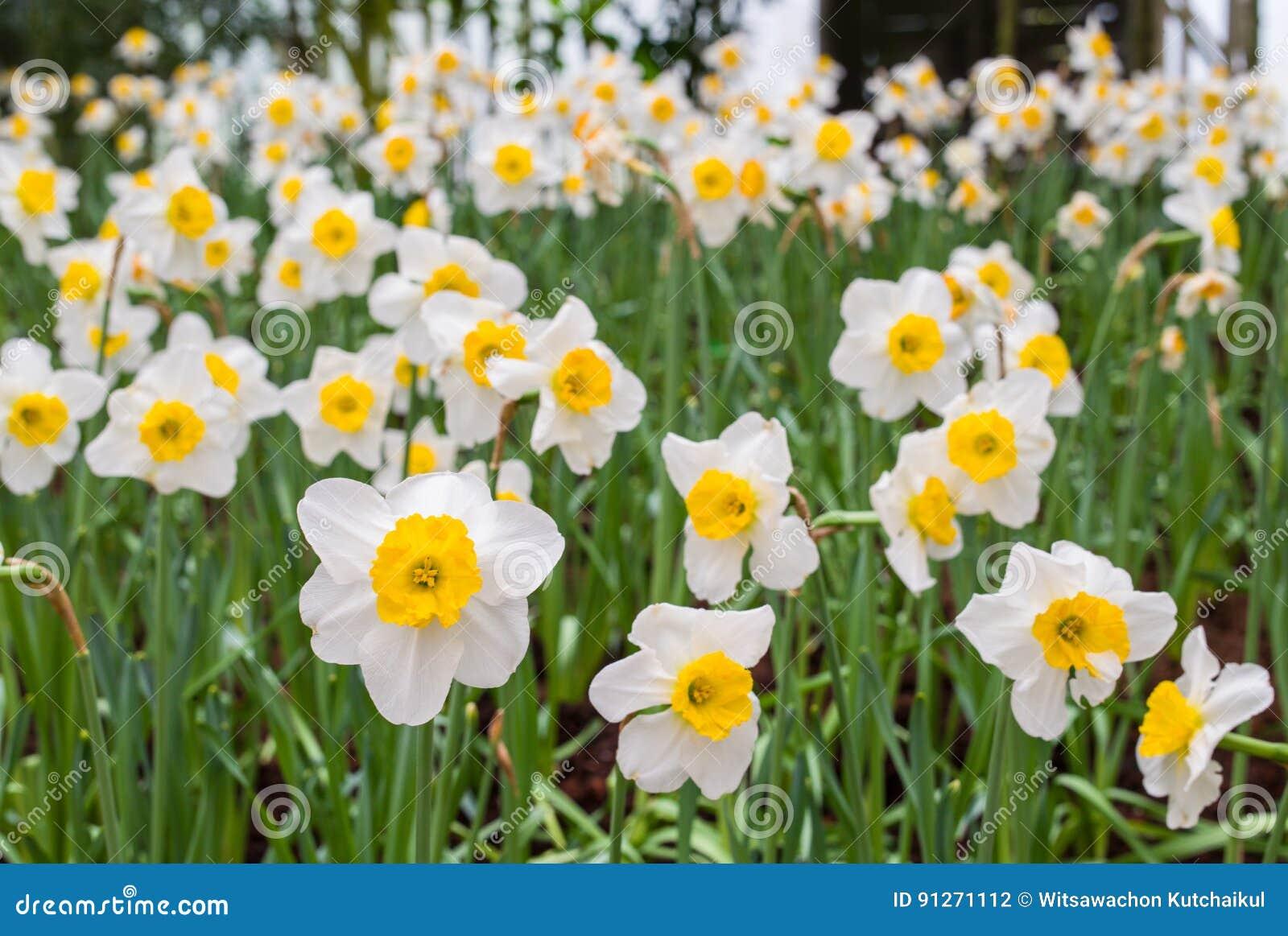 Fleur De Jonquille Photo Stock Image Du Fleur Jonquille 91271112