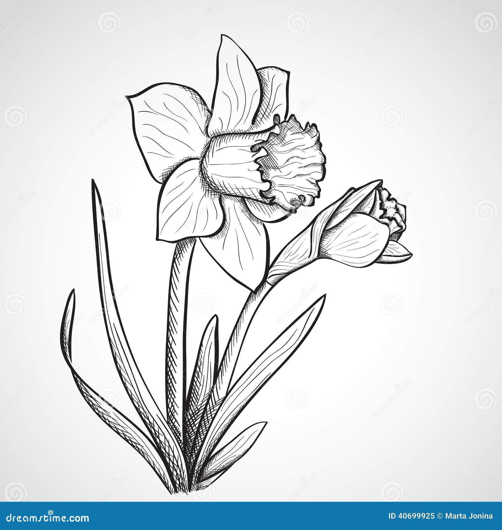 C Drawing Smooth Lines : Fleur de jonquille croquis tirée par la main