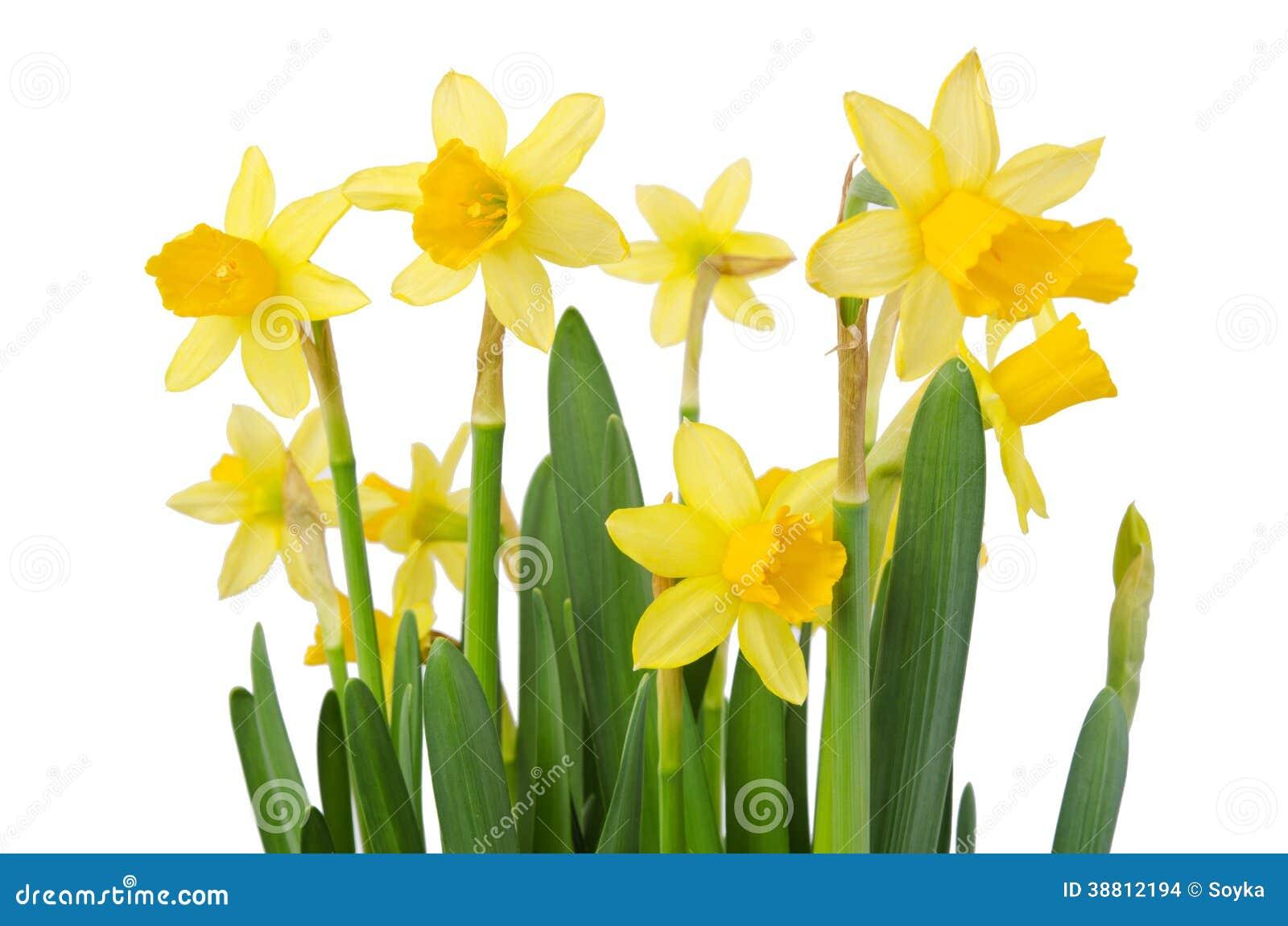 fleur de jonquille ou bouquet de narcisse photo stock image 38812194. Black Bedroom Furniture Sets. Home Design Ideas