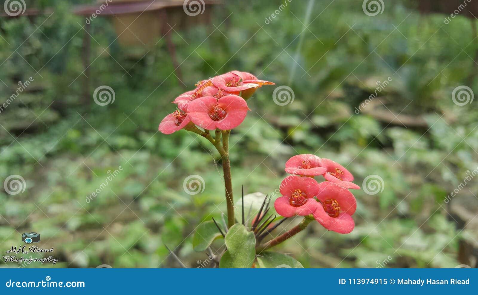 Fleur de Kektas