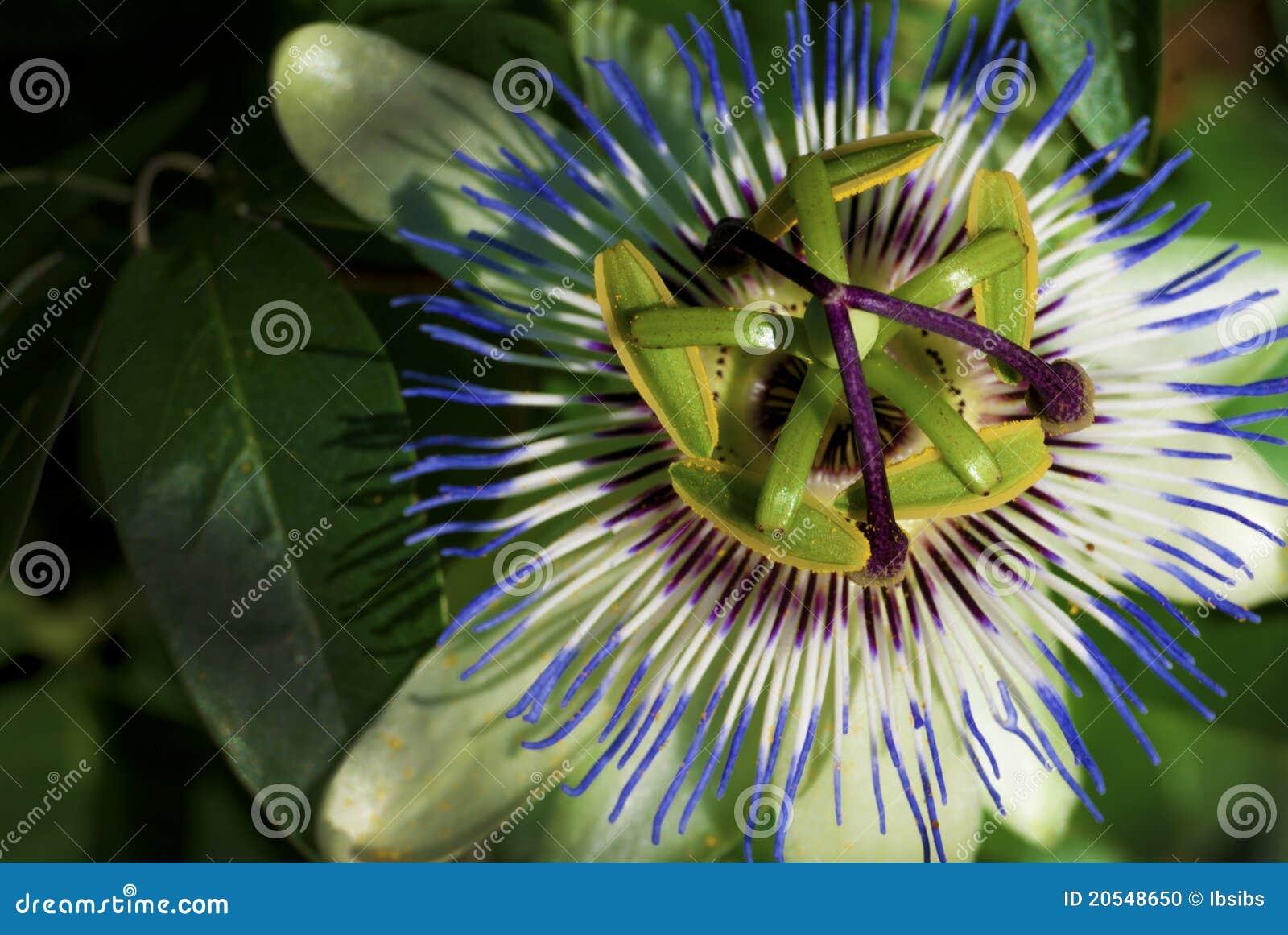 fleur de kiwi photo stock image 20548650. Black Bedroom Furniture Sets. Home Design Ideas