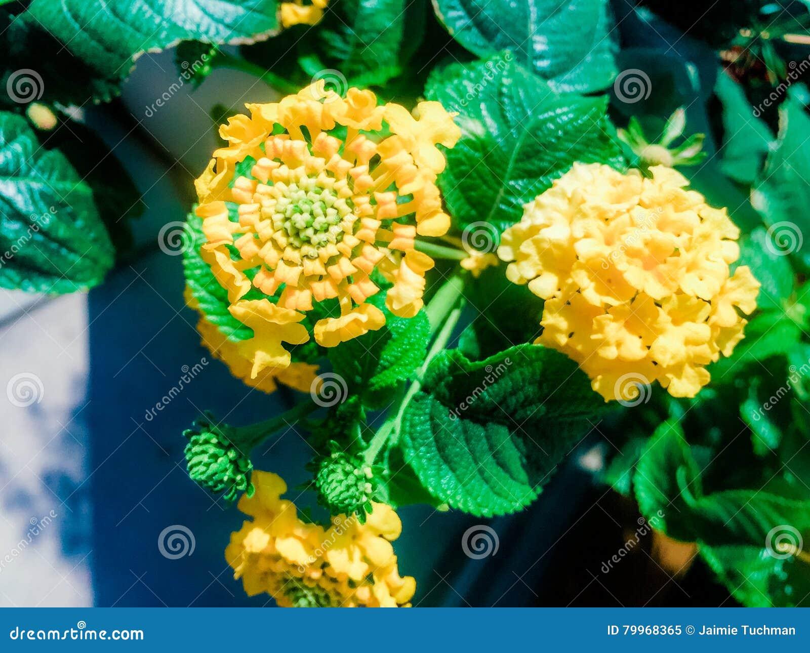 fleur de lantana dans la couleur jaune image stock image. Black Bedroom Furniture Sets. Home Design Ideas