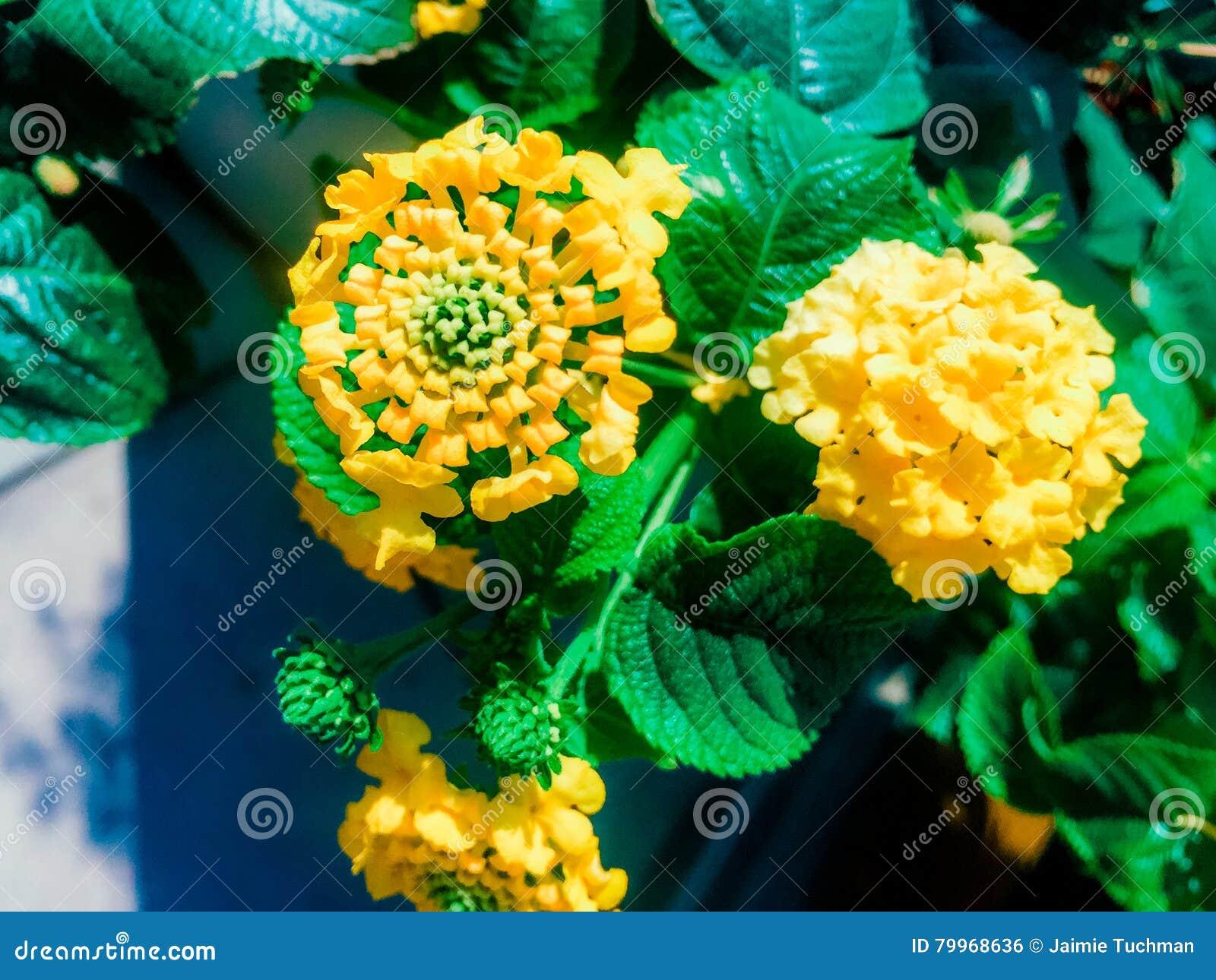 Fleur De Lantana Dans La Couleur Jaune Photo Stock Image Du