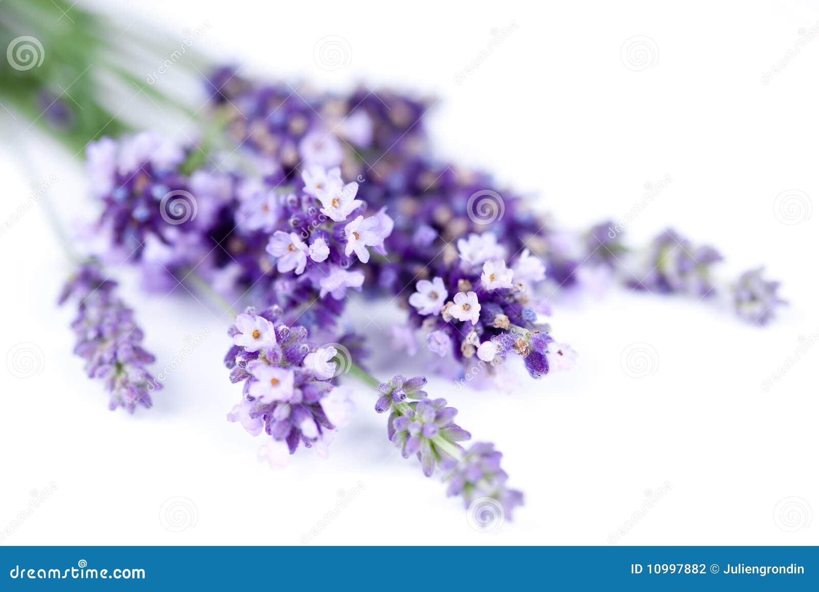 Fleur de lavande d isolement sur le blanc