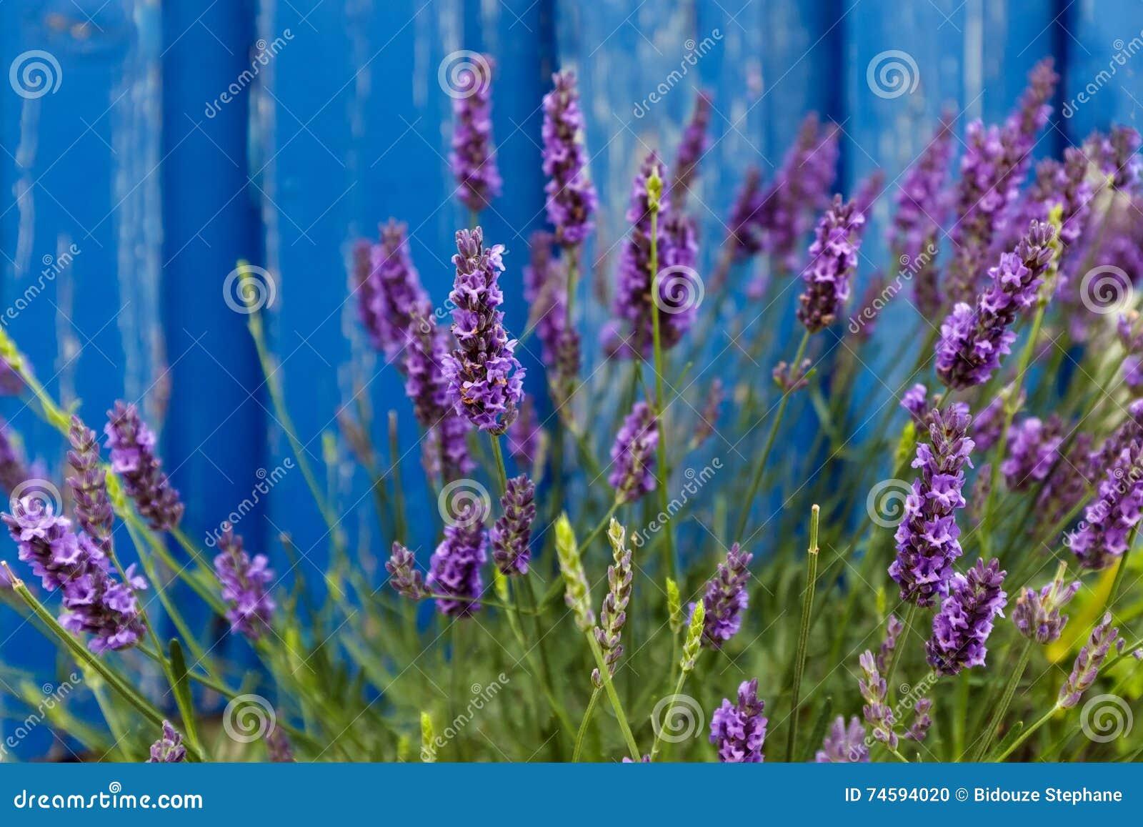 Fleur De Lavande Sous Le Mur Bleu Photo Stock Image Du