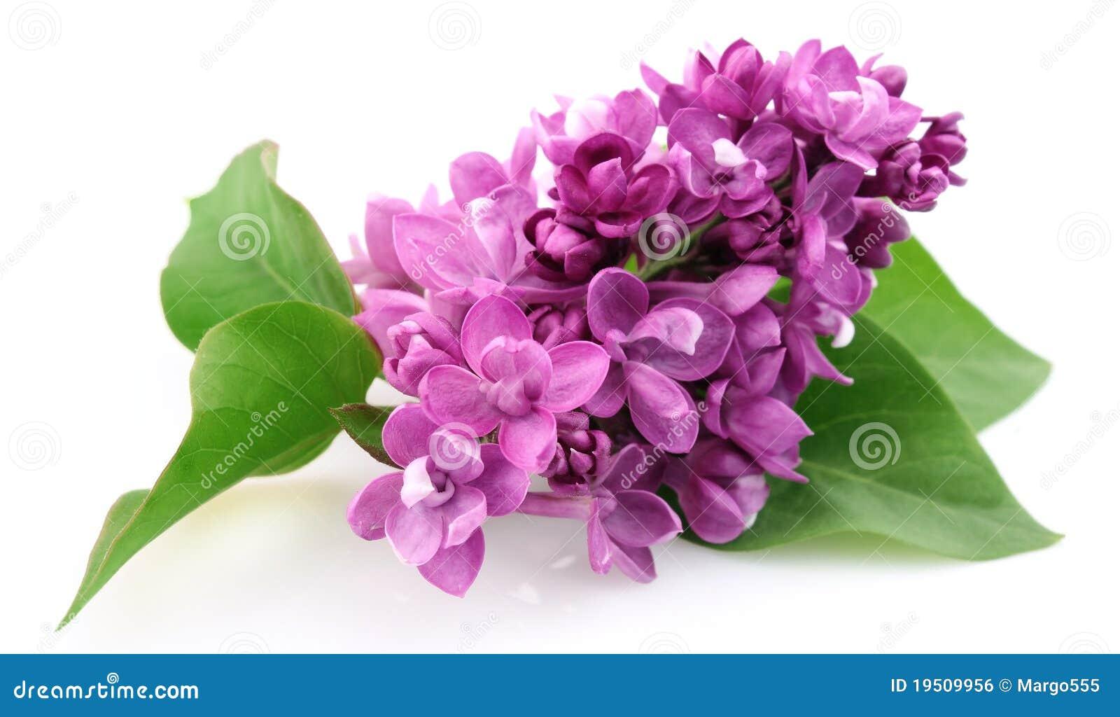 Fleur de lilas de source