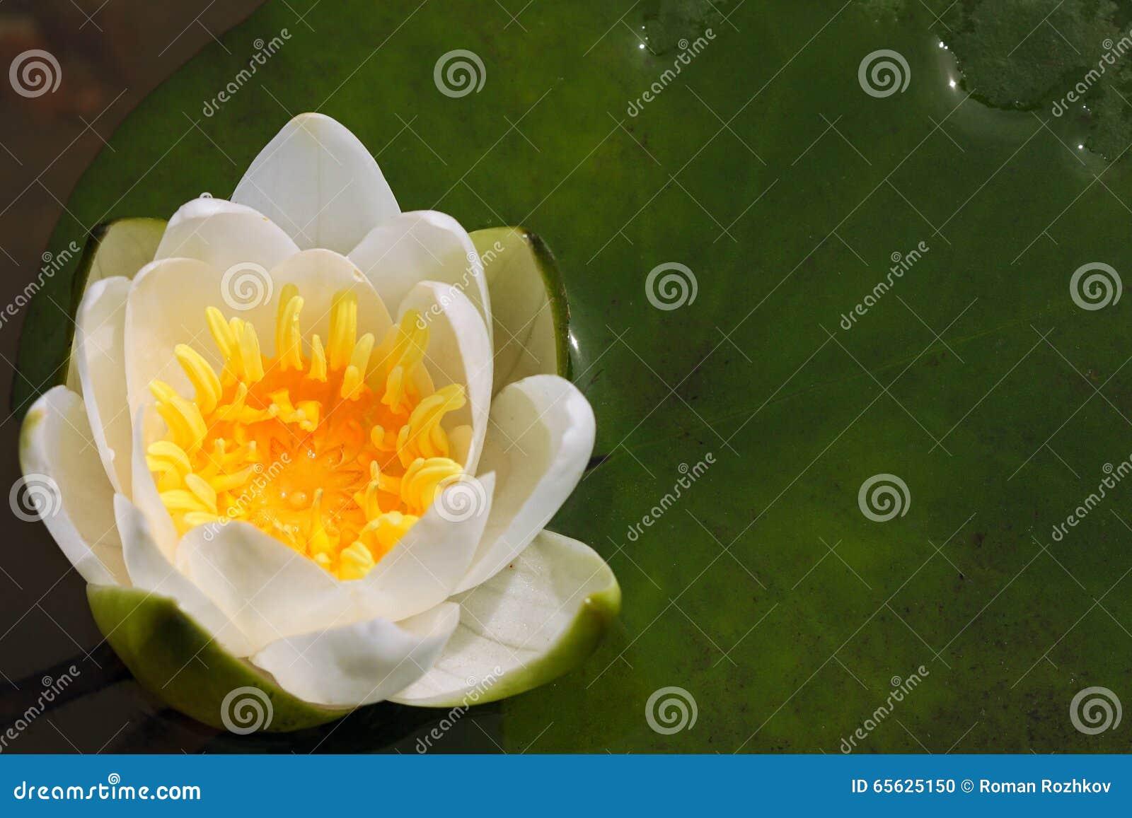 Fleur de lis blanc dans un étang