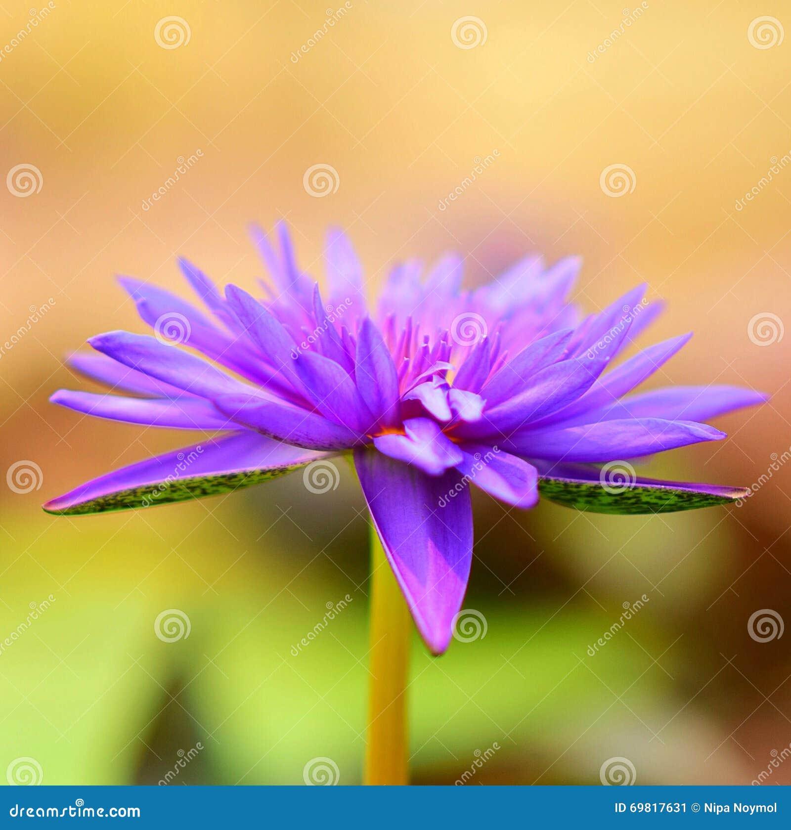 Fleur de lotus photo stock image 69817631 - Image fleur de lotus ...
