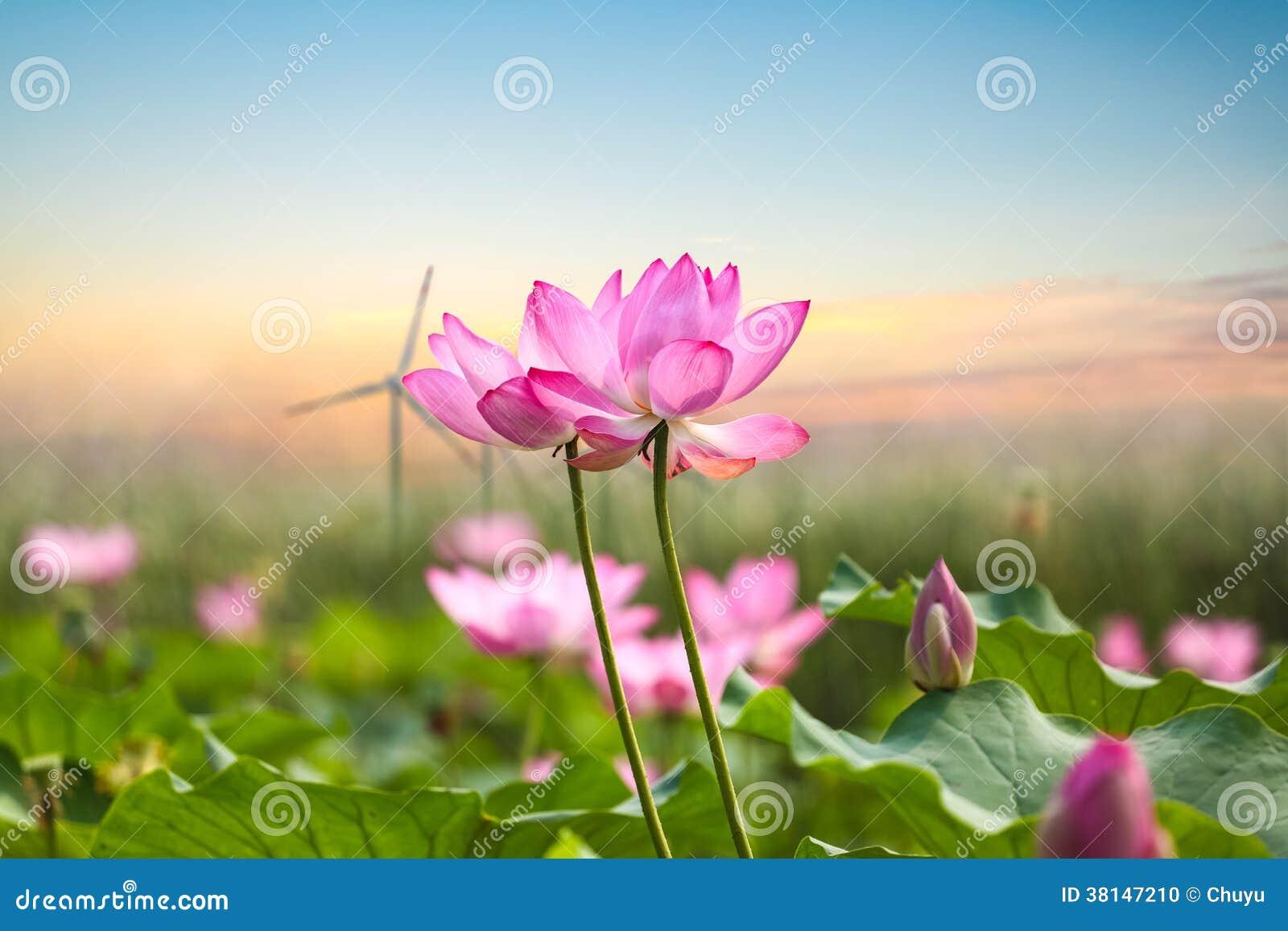 Fleur de lotus avec la ferme de vent dans le coucher du soleil photo stock image du rose - Fleur du soleil ...