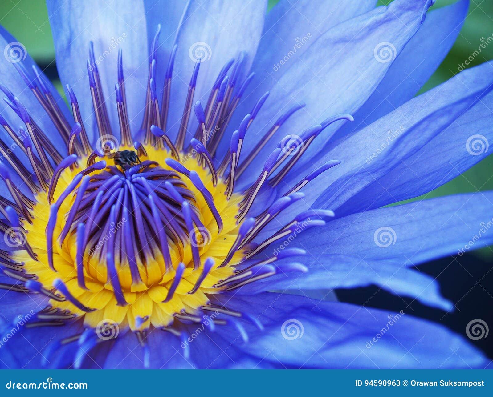 Fleur De Lotus Bleu De Floraison Image stock , Image du bleu