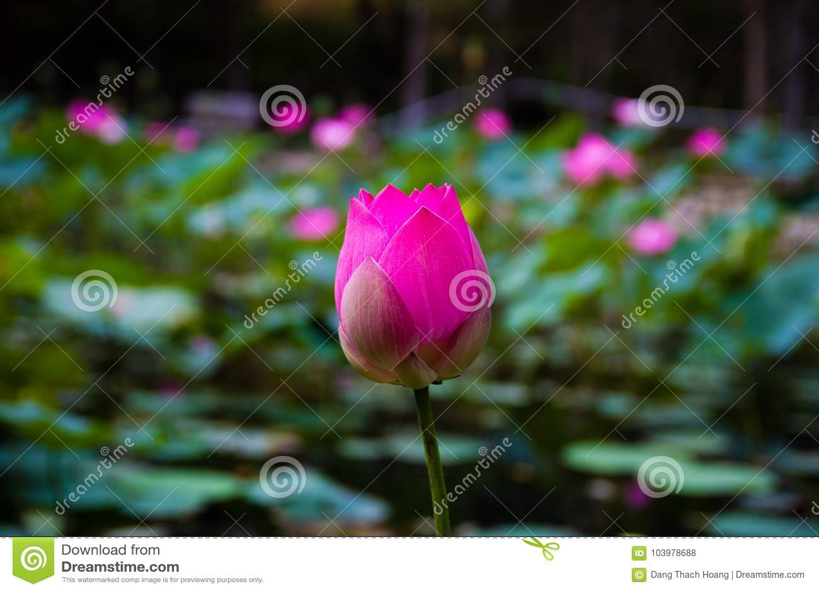 Fleur de Lotus dans l étang
