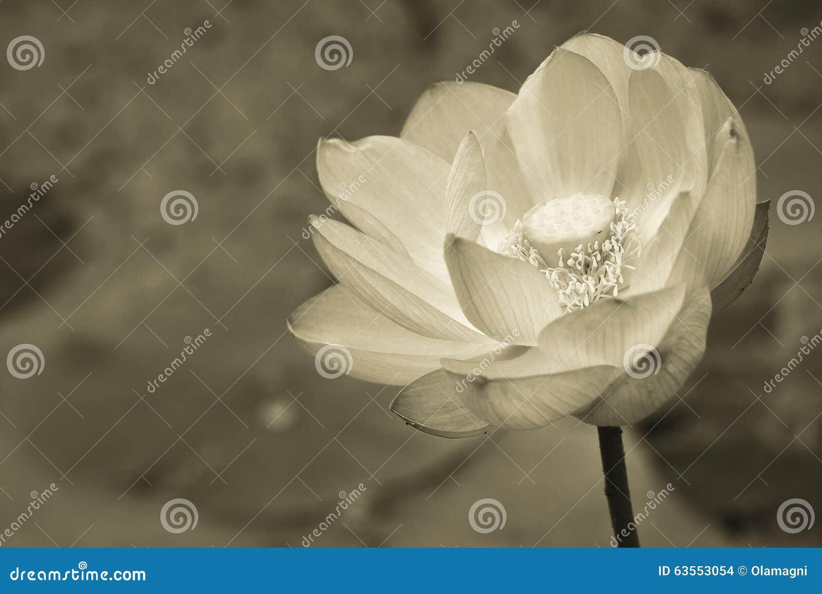 fleur de lotus en noir et blanc photo stock image du graine jardin 63553054. Black Bedroom Furniture Sets. Home Design Ideas