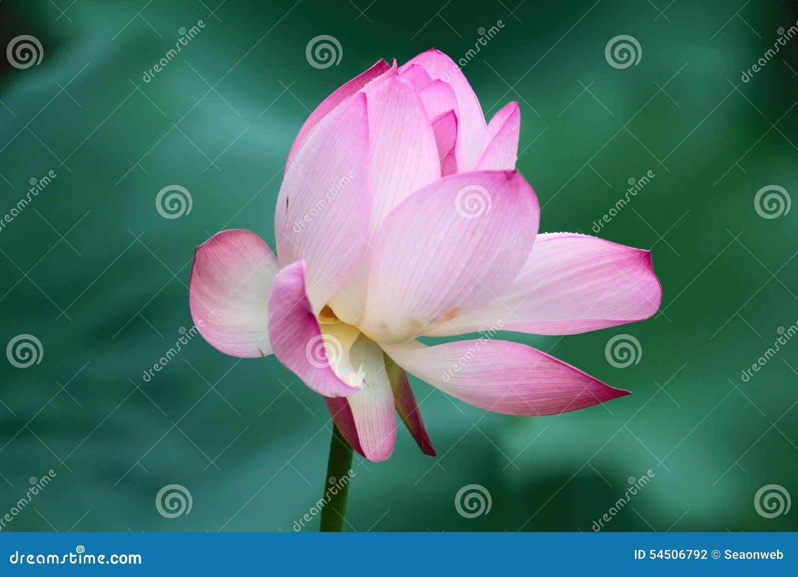 Fleur de Lotus et usines de fleur de Lotus