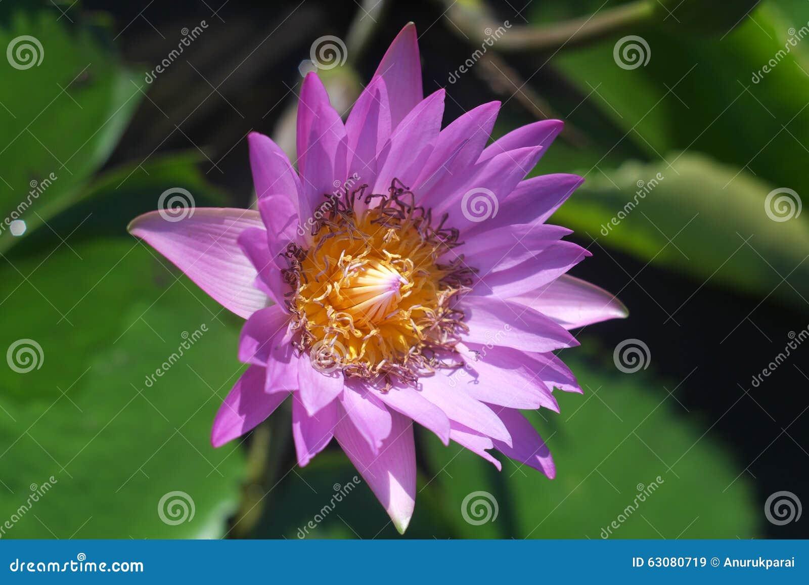 Download Fleur de Lotus fanée image stock. Image du temps, pollen - 63080719