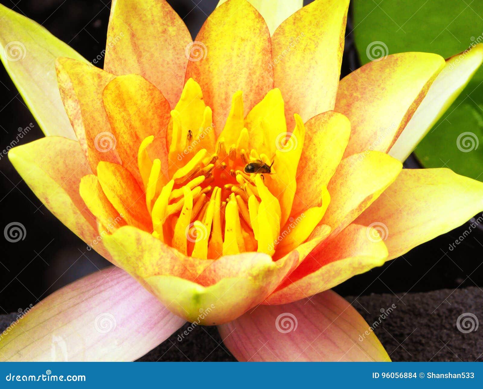 Fleur de Lotus fleurissant à l intérieur du jardin de Guyi