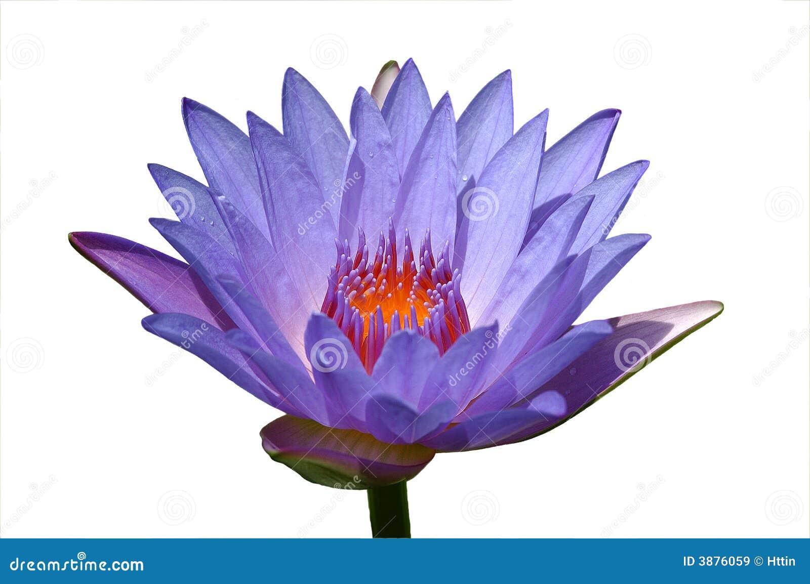 Fleur de lotus pourprée séparée
