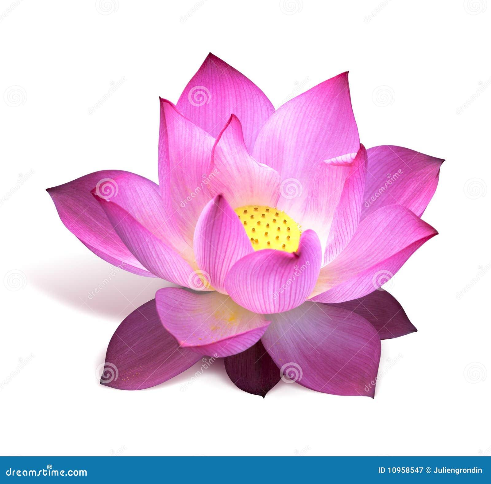 Fleur de lotus rose photographie stock libre de droits image 10958547 - Image fleur de lotus ...