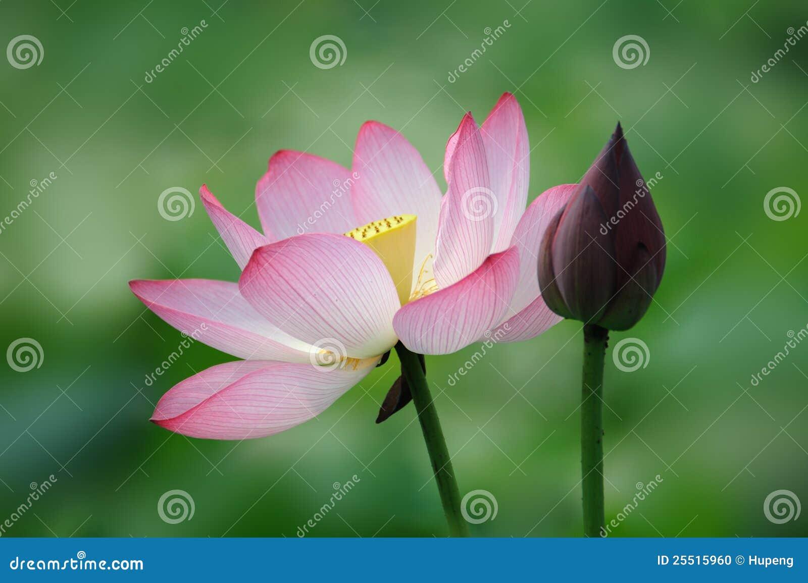 fleur de lotus rose avec le bourgeon photo stock image du fond couleur 25515960. Black Bedroom Furniture Sets. Home Design Ideas