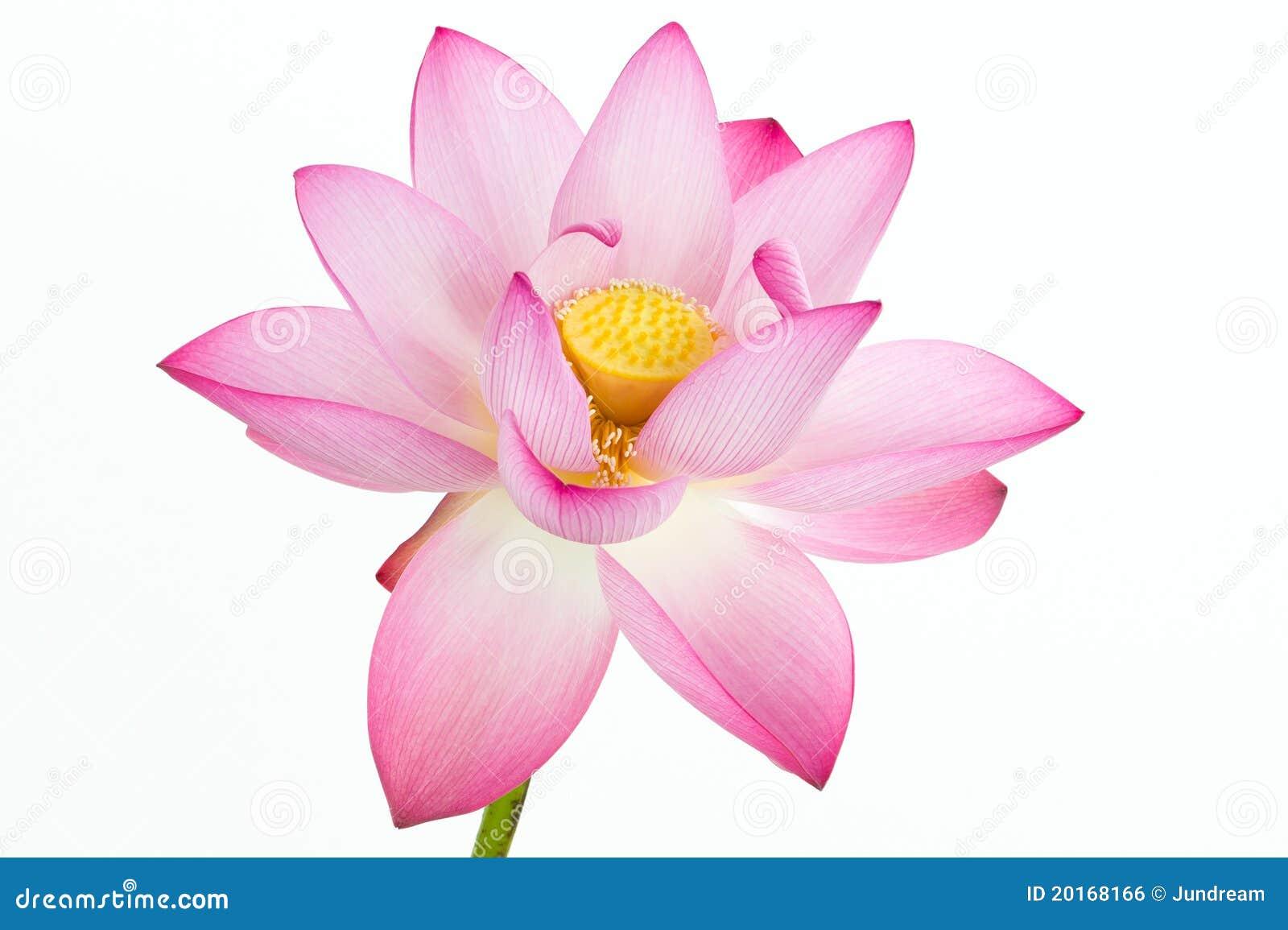 Fleur de lotus rose et fond blanc image libre de droits image 20168166 - Fleur de lotus symbole ...