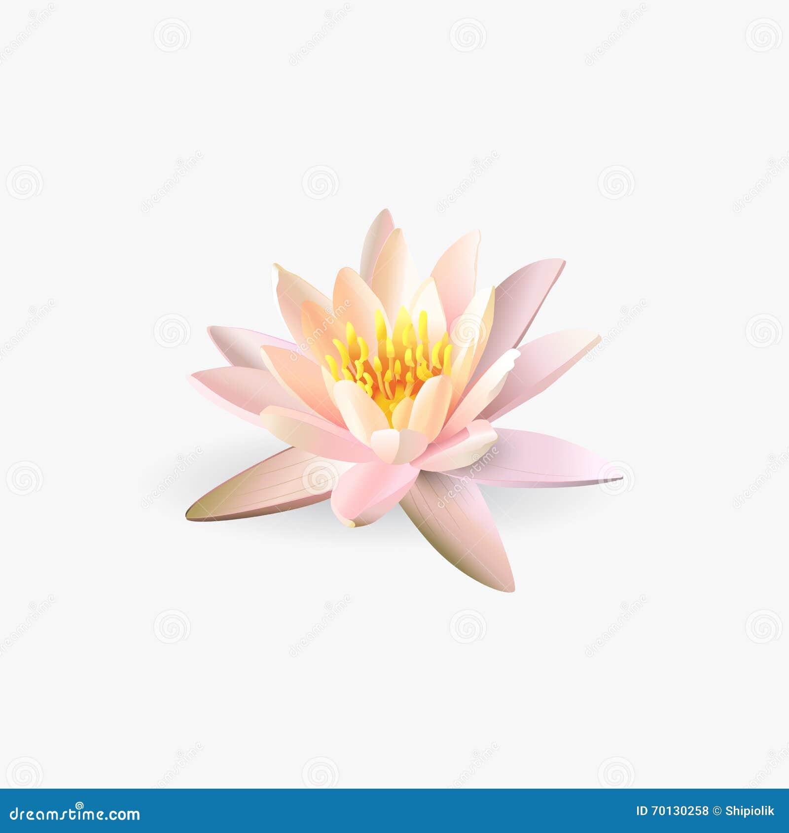 fleur de lotus sur le fond blanc illustration de vecteur image 70130258. Black Bedroom Furniture Sets. Home Design Ideas