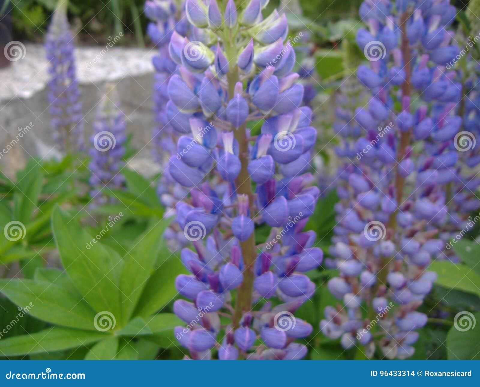 Fleur De Lupin Stock Photo Image Of Ete Violet Plan 96433314