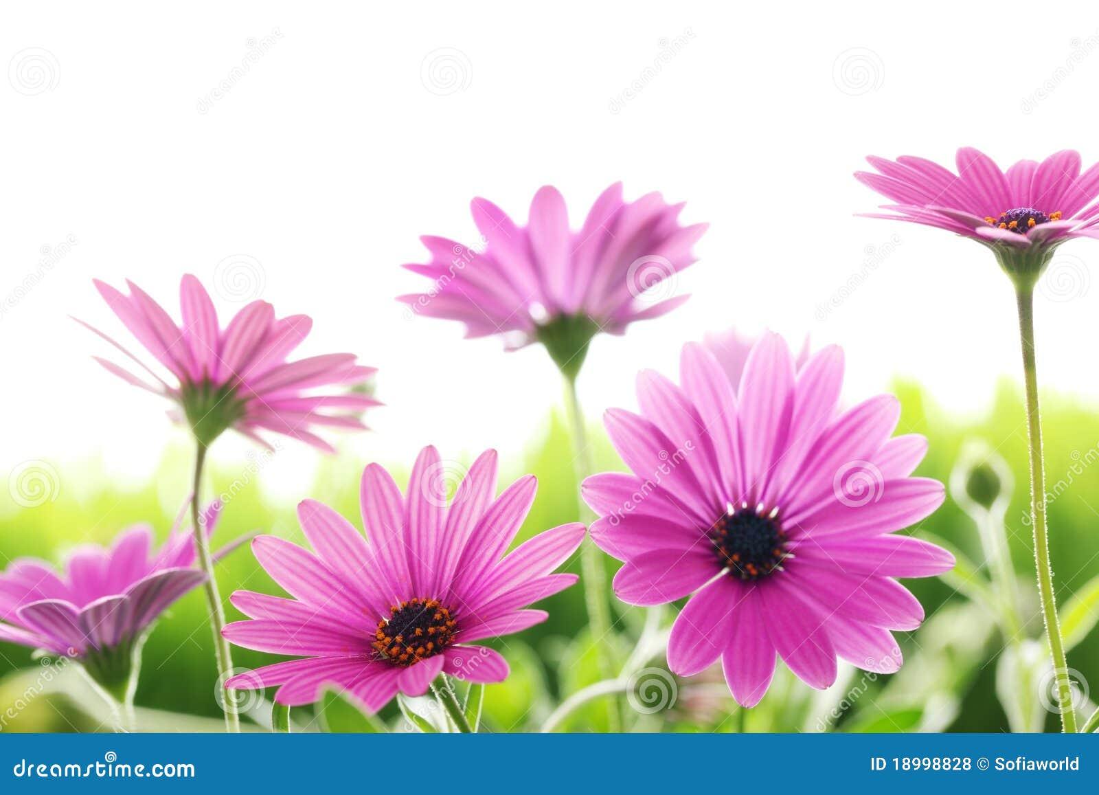 Fleur de marguerite photo stock image du rose zone - Image fleur marguerite ...
