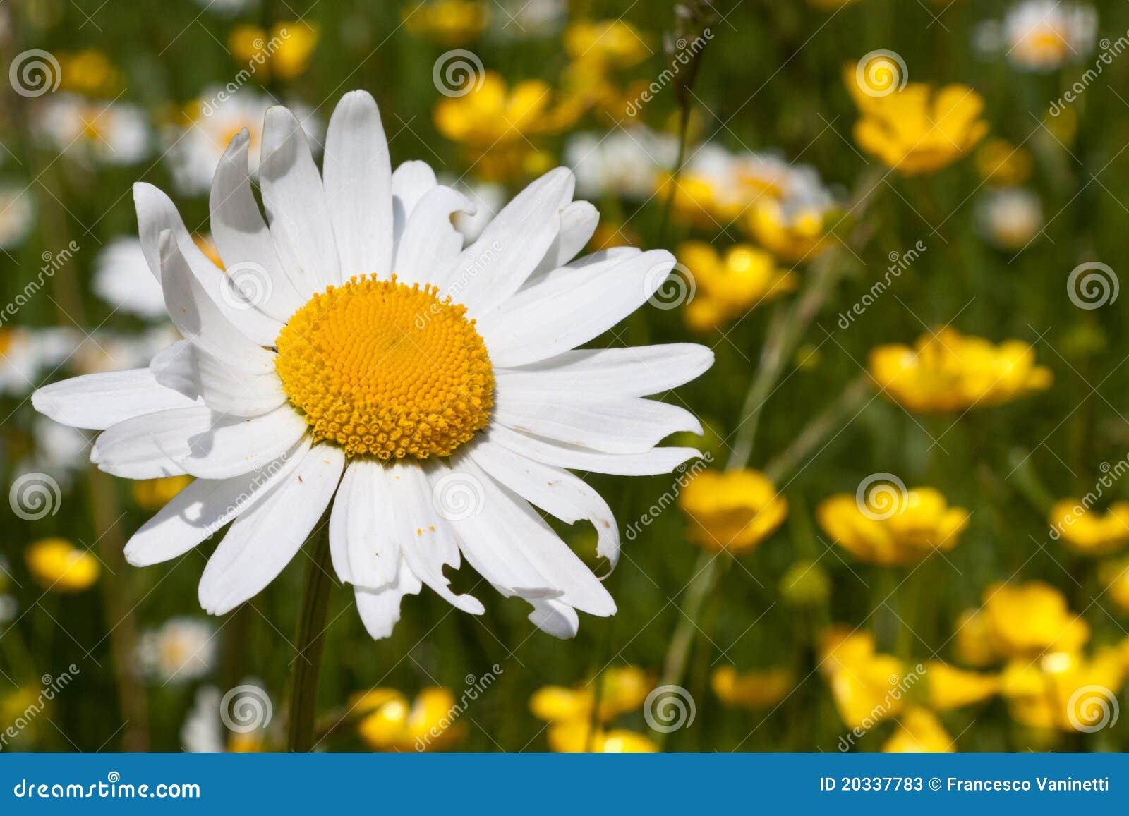 Fleur de marguerite au printemps photos stock image - Image fleur marguerite ...