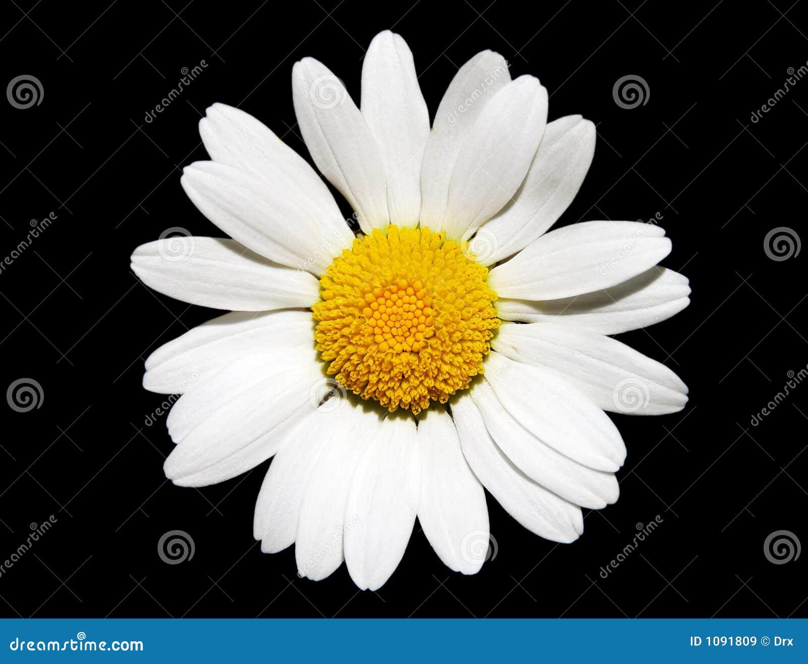 Fleur de marguerite blanche images libres de droits - Image fleur marguerite ...