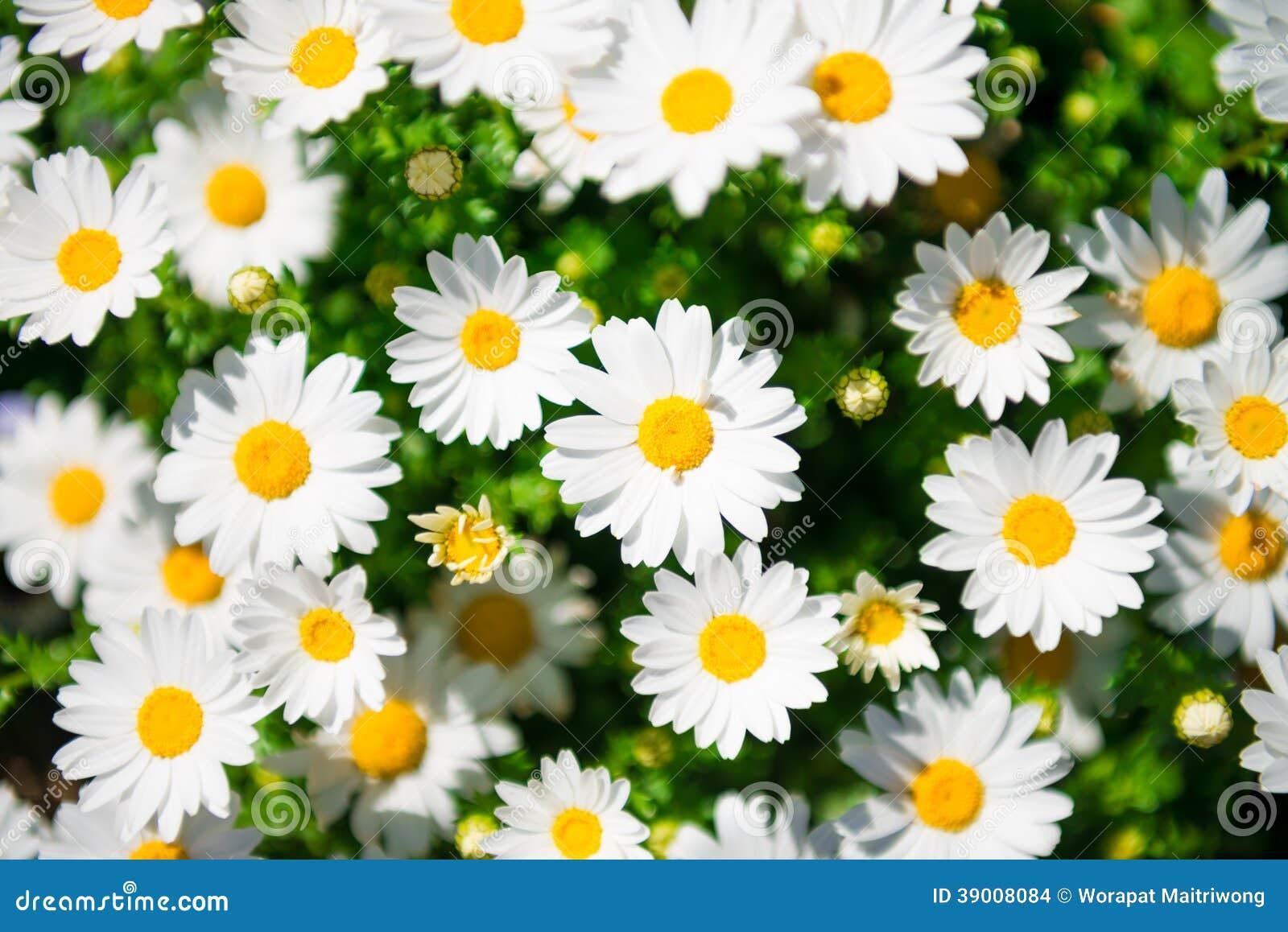 Fleurs marguerites blanches - Image fleur marguerite ...