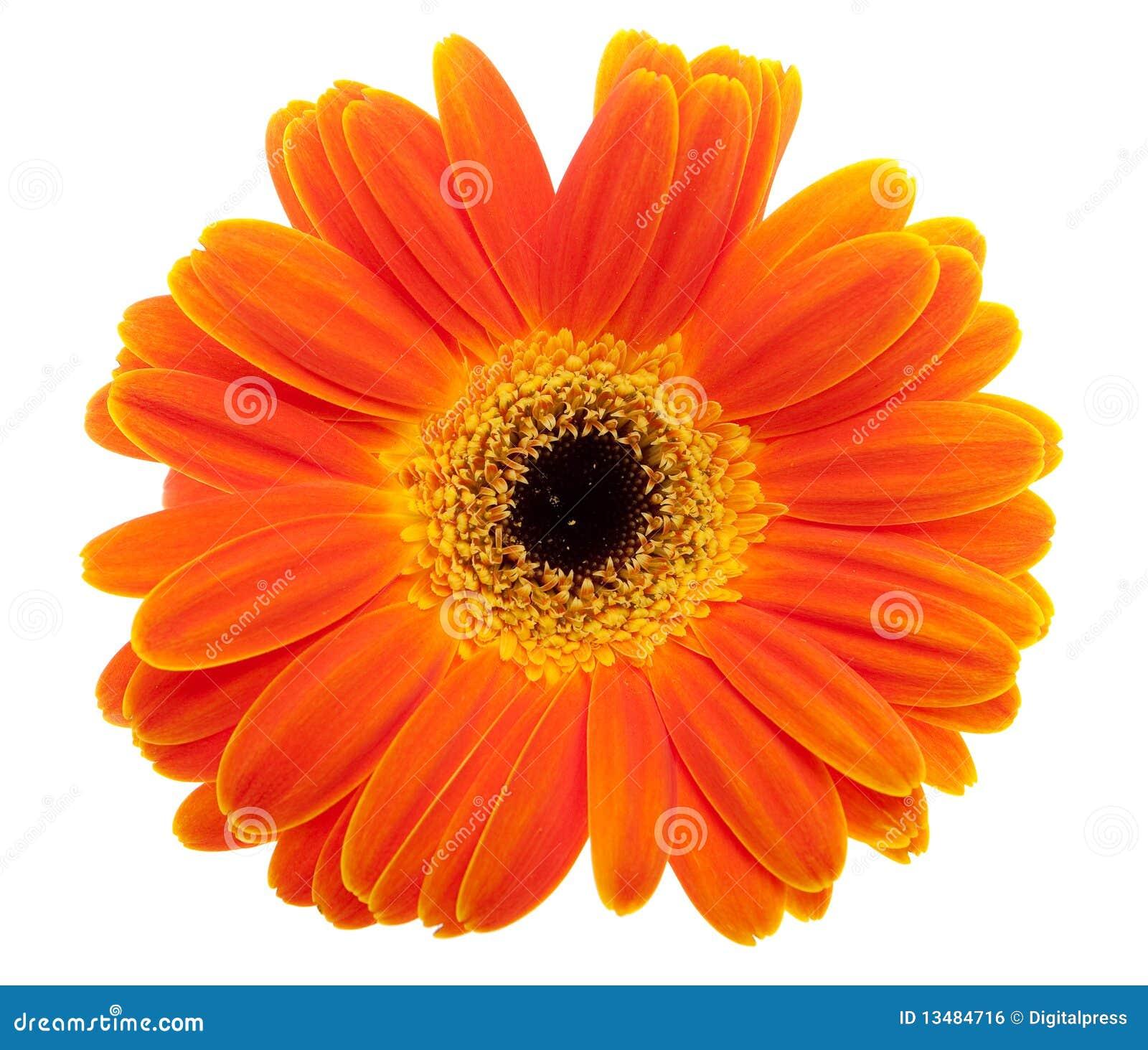 Fleur de marguerite orange image libre de droits image - Image fleur marguerite ...