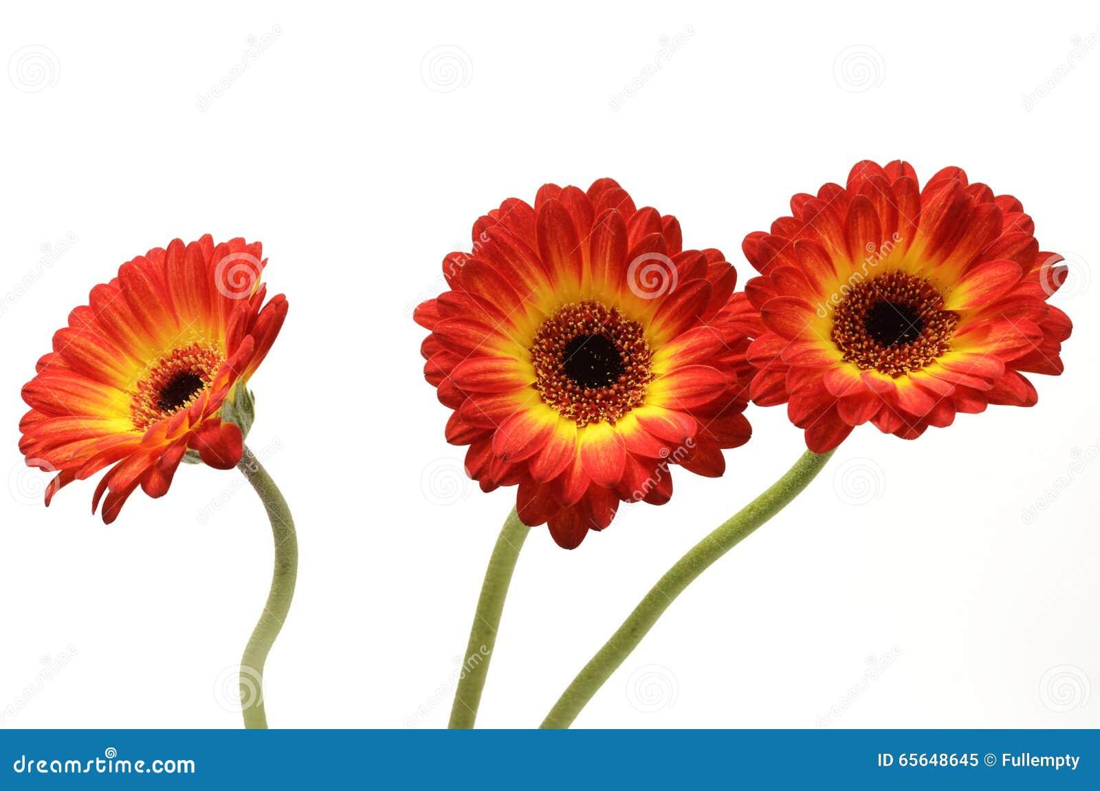 Fleur de marguerite rouge et orange
