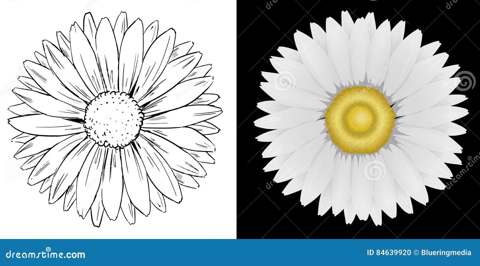 Fleur De Marguerite Sur Le Fond Blanc Et Noir Illustration De