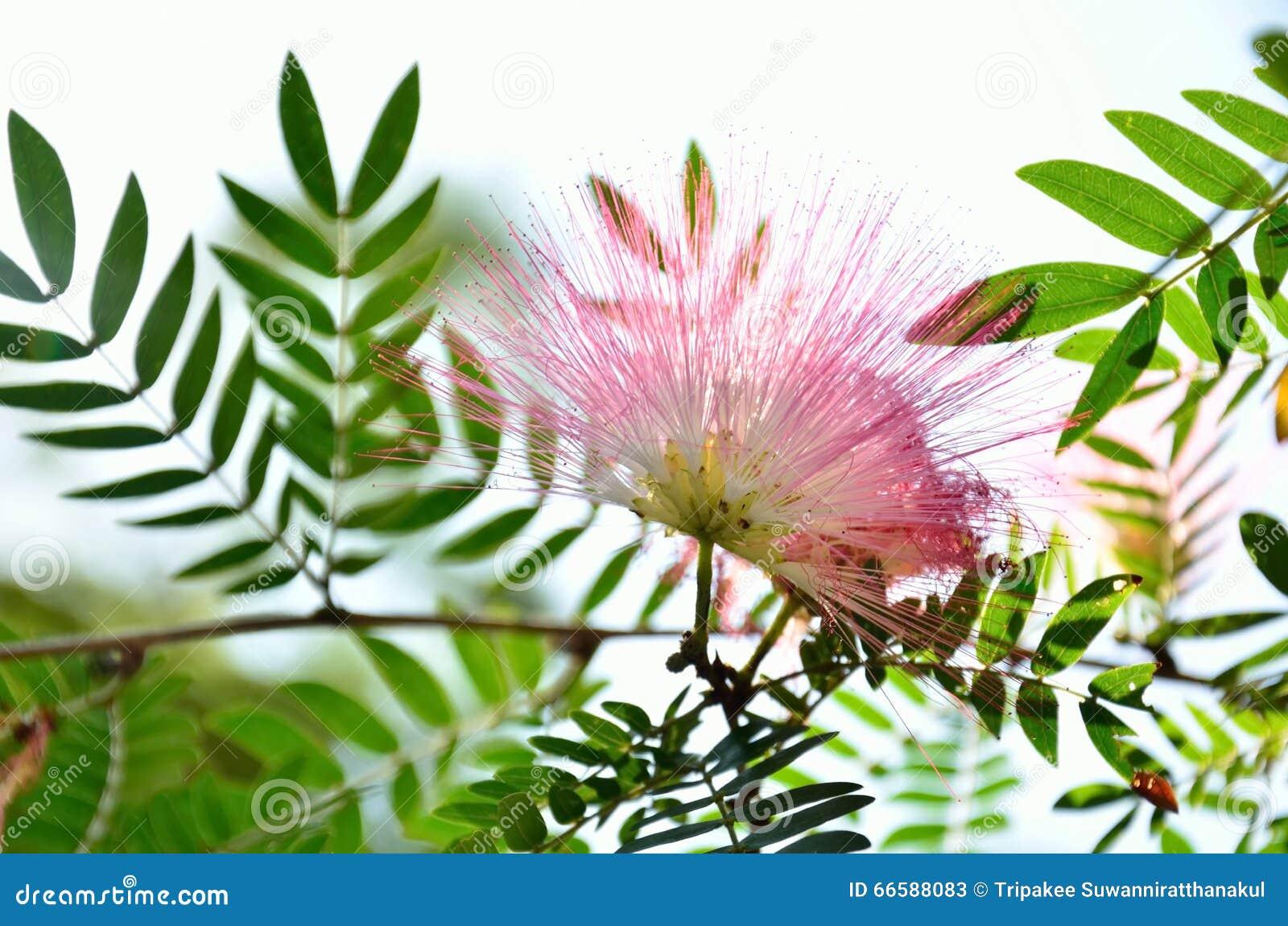 Fleur de mimosa