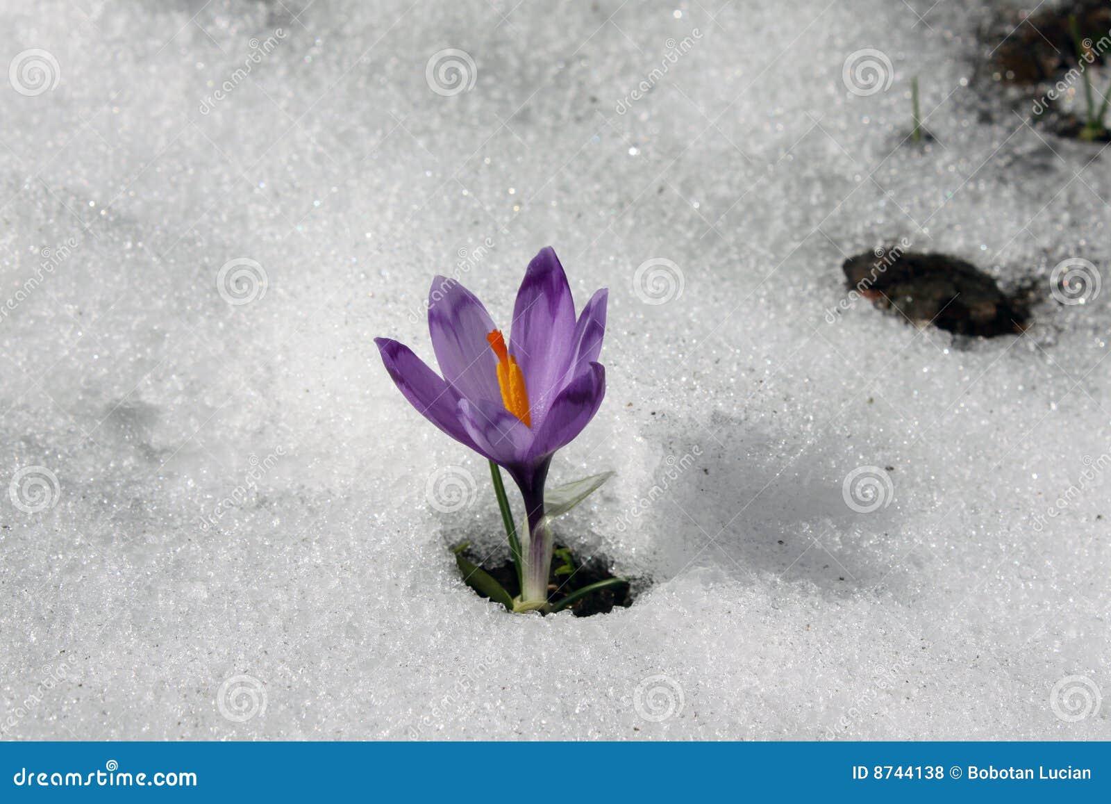 fleur de montagne photo stock image du neige montagne 8744138. Black Bedroom Furniture Sets. Home Design Ideas