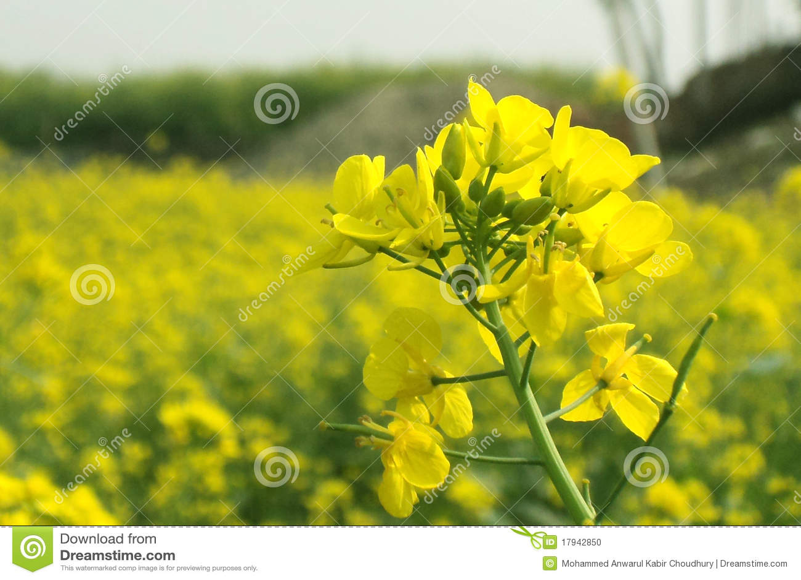 fleur de moutarde photo stock image du macro clear 17942850. Black Bedroom Furniture Sets. Home Design Ideas