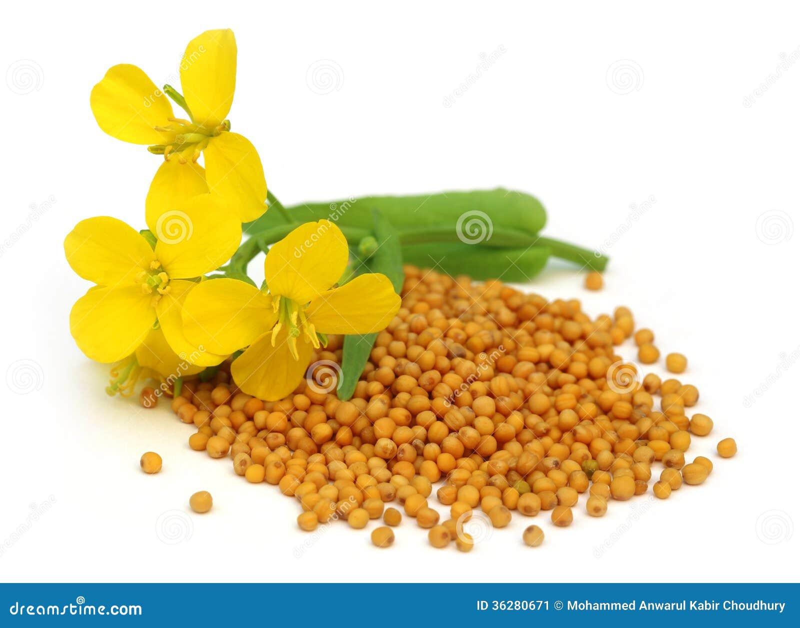 fleur de moutarde avec des graines image stock image 36280671. Black Bedroom Furniture Sets. Home Design Ideas