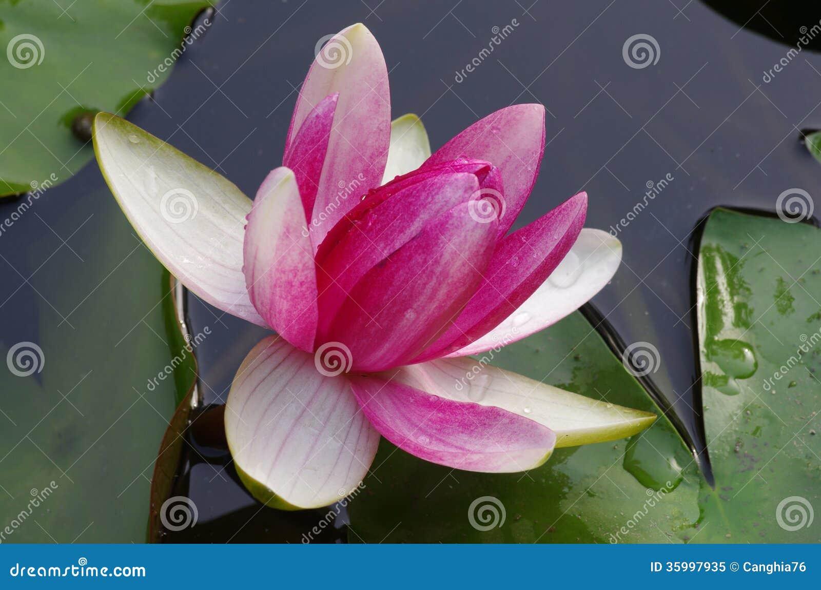 fleur de n nuphar de rose de twain lotus photo libre de. Black Bedroom Furniture Sets. Home Design Ideas