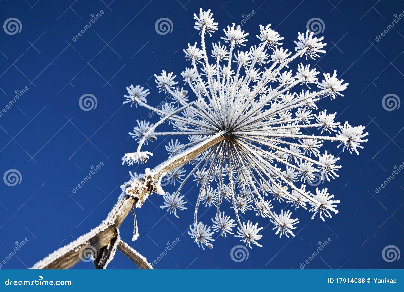 Fleur De Neige Photo Stock Image Du Configuration Herbe 17914088